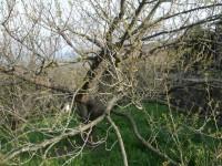 十郎梅の木。