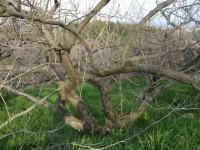 こちらは白加賀。まるで枯れ木