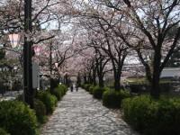 本日のお濠の桜